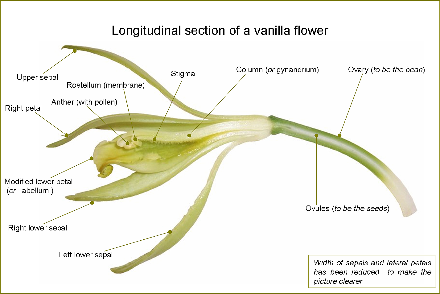Travel-India.Spices of India.Vanilla  Flower
