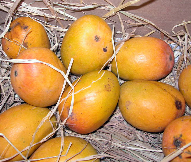 Travel India.Ratnagiri.Alphonso Mangoes.Haapus Mangoes