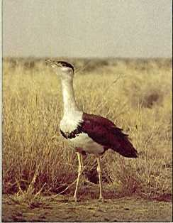 Travel India.Nanaj Bird Sanctuary.Great Indian Bustard