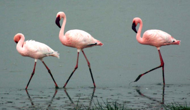 Travel India.Flamingoes.Lesser Flamingoes