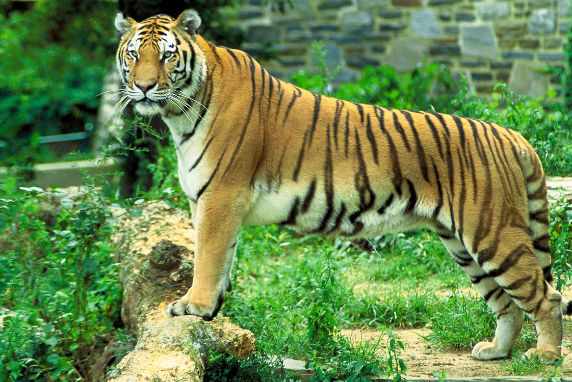 Travel India.Sariska Tiger Reserve.Tiger